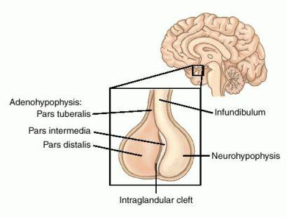 Cytology: Adrenal Gland, Pituitary Gland