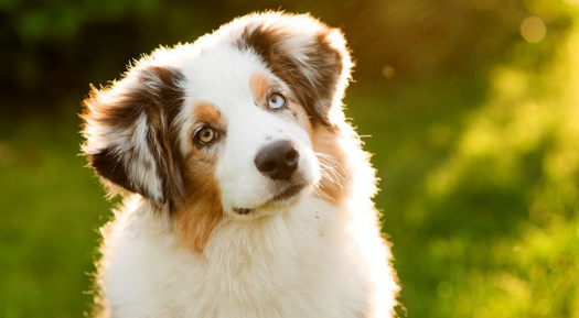 Dog Breed Guessing Quiz Very Hard