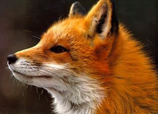 What Type Of Fox Are You Proprofs Quiz