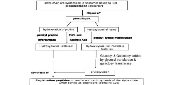 Which factor of the following is not responsible for the decrease in collagen synthesis?