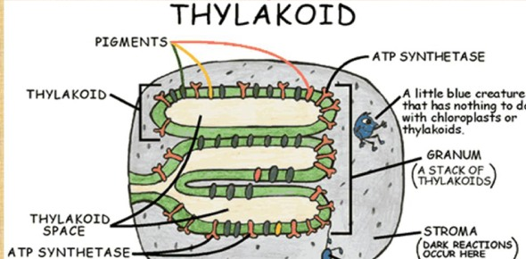 Which of the following processes will be affected by damage to the thylakoid?