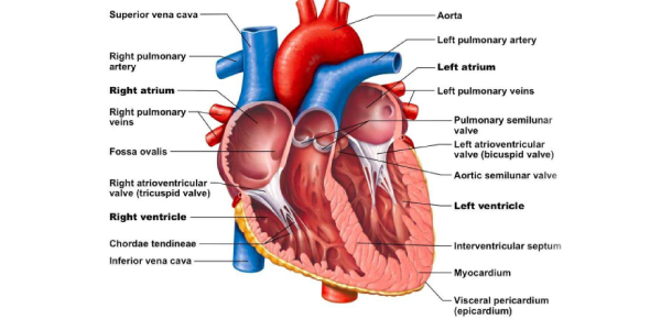 What is the name of the system that involves the heart and its chambers?