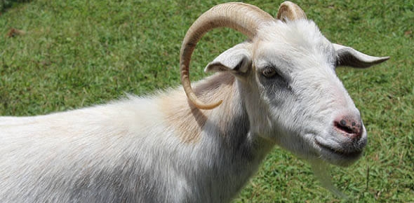 What is the average life span of a goat?