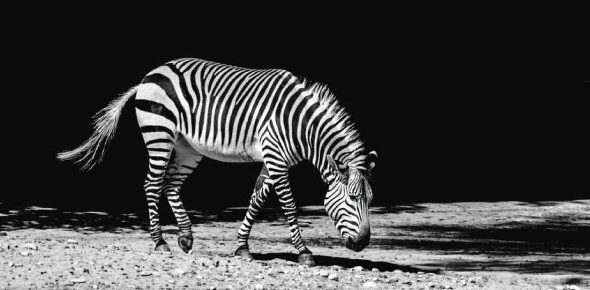 What animal has stripes on its body?