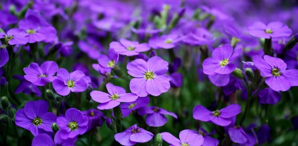 What herb blossoms into purple flowers?