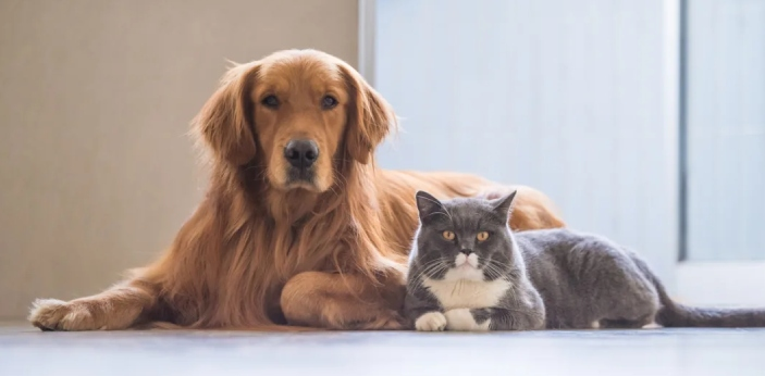Dogs and cats are both domesticated animals, and they are the two most popular pets known to man.