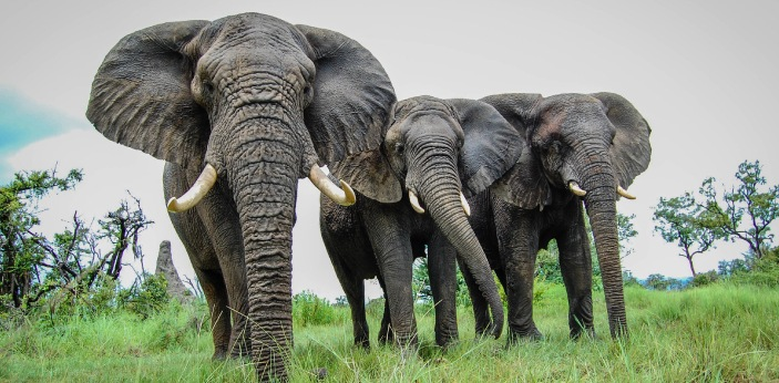 The elephant is my favorite animal. Elephants are large mammals of the family Elephantidae and the