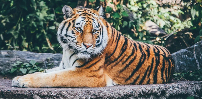 I think that if you were an animal, you would be a tiger. A tiger is an animal that is known for