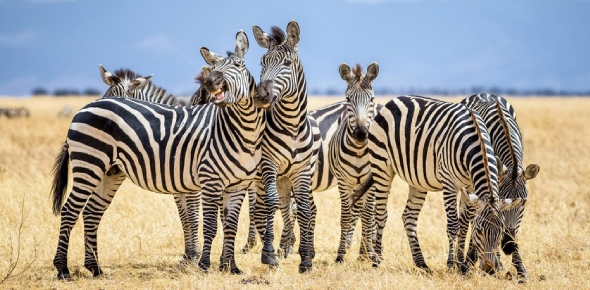 Zebras are hunted by many animals; they are mostly hunted by lions. Other animals also attack and