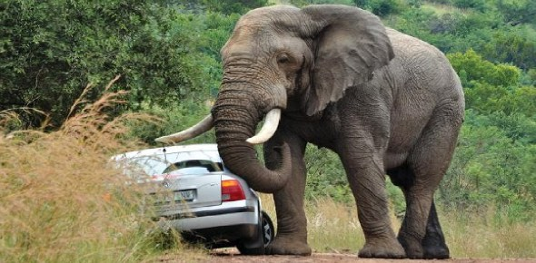 Are elephants dangerous to humans?