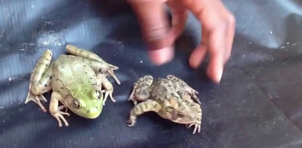 What are the diffrences between amphibians and reptiles?