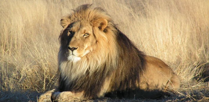 There are still some countries in various parts of the world that are known to have a lot of lions.