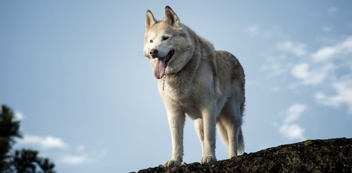 It can get confusing for a lot of people to know if they are looking at a wolf or a husky. A husky