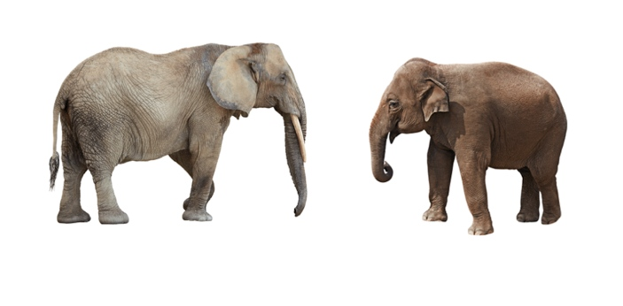 Although they look very similar at first glance, it is possible to tell if an Elephant is an