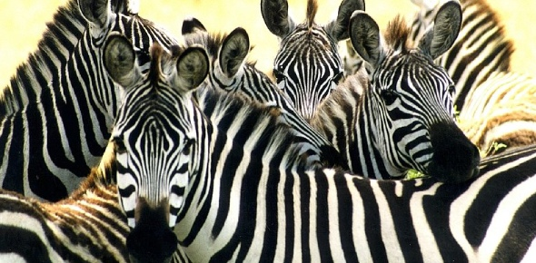 Zebras normally move in groups, this provides great protection for them. They benefit from eyes,