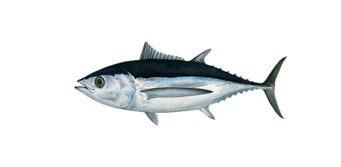 There is no big difference between Albacore and Tuna. Albacore is just a type of out of like seven