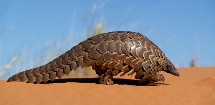 The correct answer to this question is the pangolin. Most people have never heard of them, but they