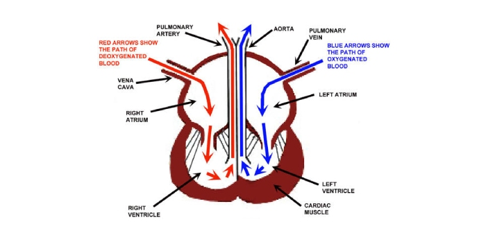 Number 7 depicts the right ventricle. This is the lower right chamber of the heart. This is