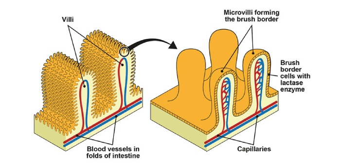 Microvilli is a component of the cell. The function of the microvilli is basically to augment the