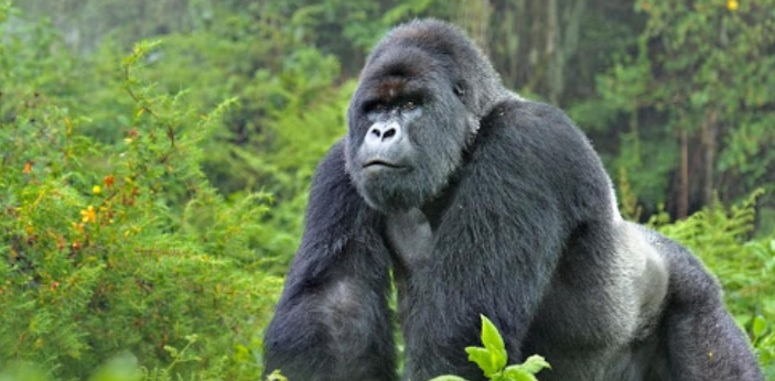 Gorillas are one of the most intelligent animal species, and also have very human-like social