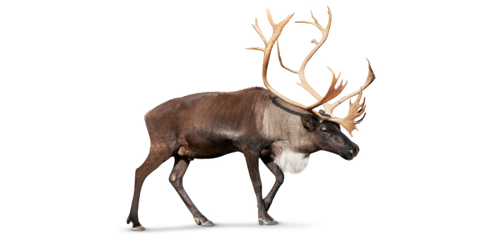 Elk and Caribou are different species of deer. Many people find it difficult to differentiate one