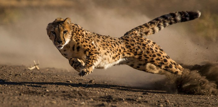 Cheetah is a fascinating animal highly built for speed. They are capable of accelerating up to