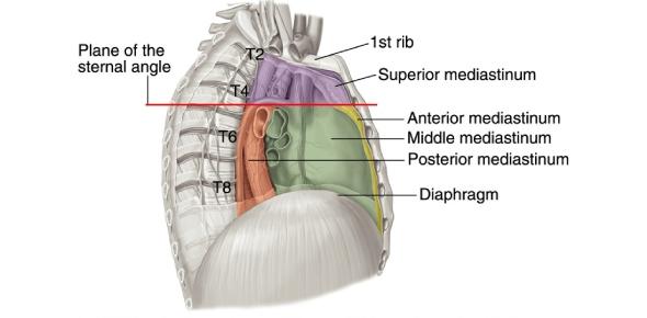 What is the mediastinum?