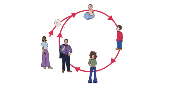 How many life cycles does a human being have?
