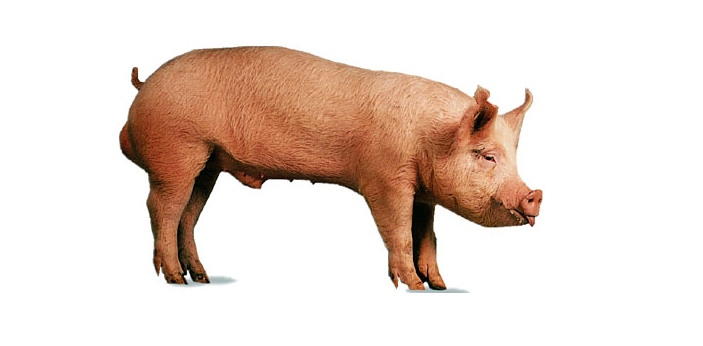 The pig and the boar are two words that are used to describe the same animal. Yet, there are times