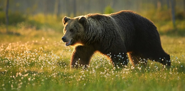 Why are grizzly bears so adorable?
