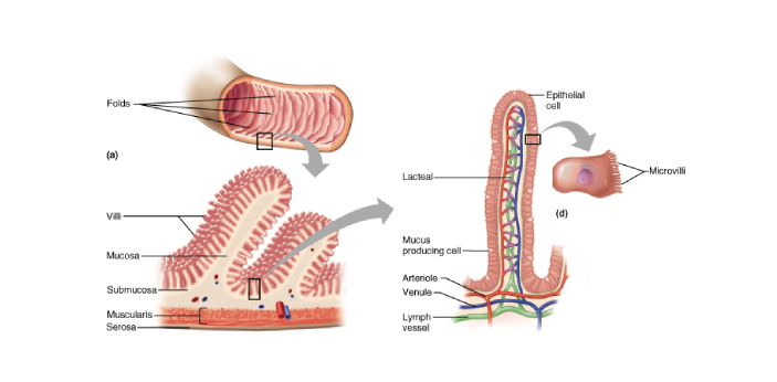 Villa and microvilli are structures in our bodies that have their own unique set of functions.