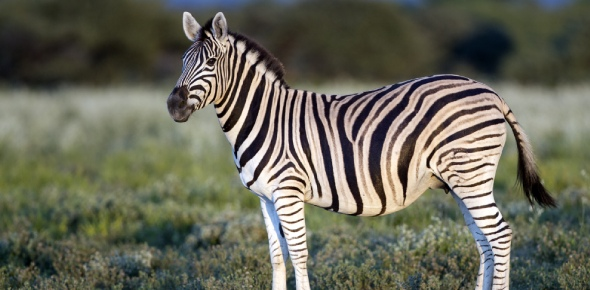Gre'vy's zebra is endangered. This is due to hunting of these animals and loss of their
