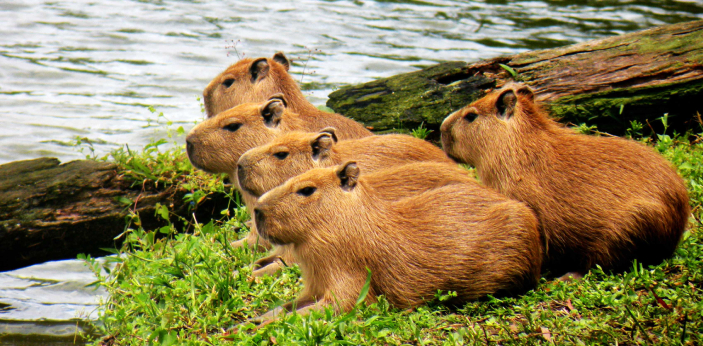 It seems that there are a lot of animals that just love hanging out with the capybaras for whatever