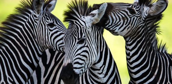The zebras as a group defend their particular community by keeping their pace suitable for any