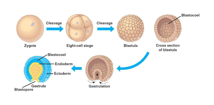 There are many stages of an animal's embryonic development. Blastula and Gastula are two of