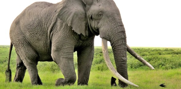 Why are elephants afraid of ants?