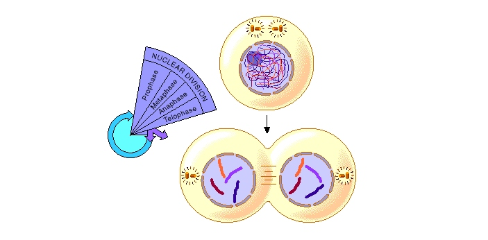 The process of Mitosis usually takes place in three distinct phases-namely Interphase, Karyokinesis