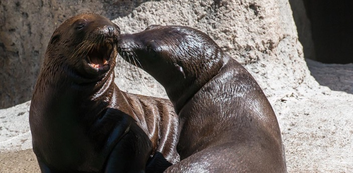 A baby sea lion is often called a pup. Giving birth to a pup is usually called