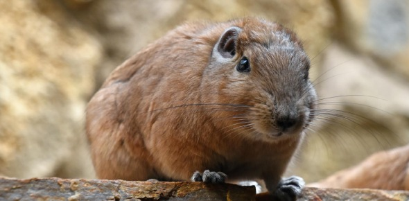 "Which kind of animal is a ""gundi""?<br/>"