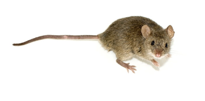 A mouse maybe 12 to 20 cm in length compared to rats, which are more than 40cm long. Moreover, the