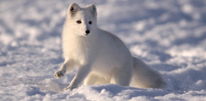 The Artic fox also known as White fox, Snow fox and Polar fox is the fluffiest animal in the whole