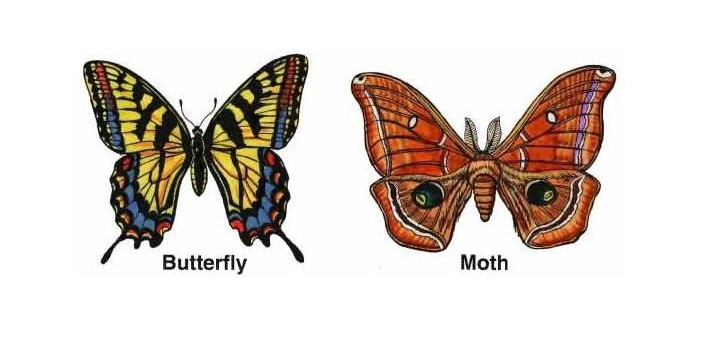 To be able to differentiate between moths and butterflies which belong to the same order