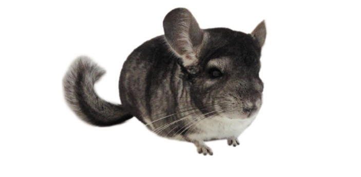 In captivity, a chinchilla can live between fifteen and twenty years. However, if they're