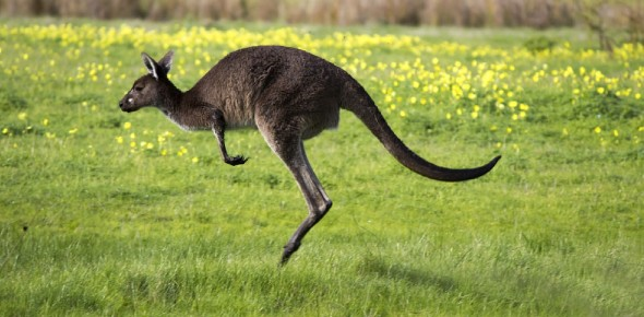 Why is the Kangaroo so important to Australia?