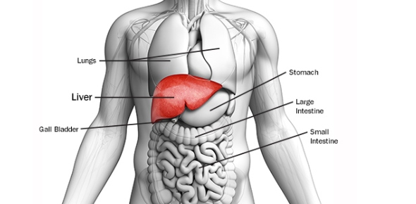 How many lobes does the liver have?