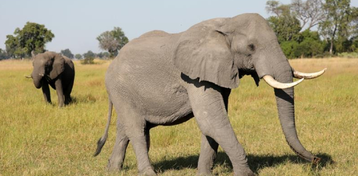 The lifespan of an elephant depends on which species of elephant is being spoken of. The Asian