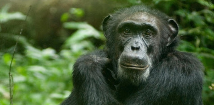 Chimpanzees are closely related to human beings, so it makes sense that they can manage their