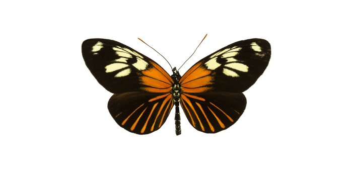 Some people are confused between the viceroy and the monarch butterfly because they somewhat look