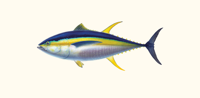 Tuna is a type of fish, and it is widespread to find. It has different species, and ahi is just