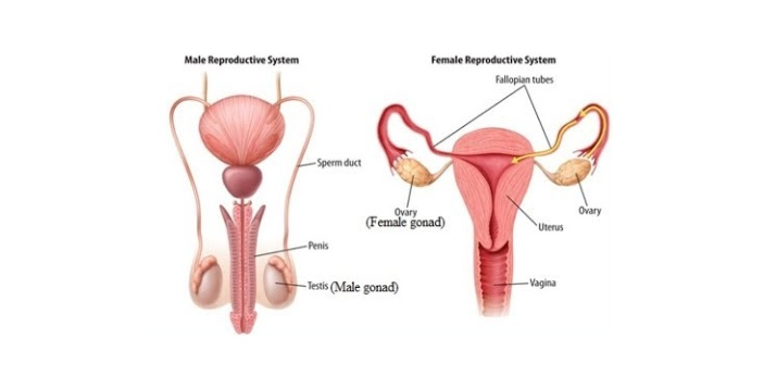 There are so many differences between egg and sperm cell formation. Egg cell is the reproductive